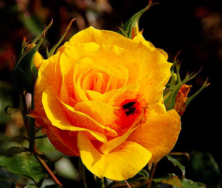 amarilla1.png