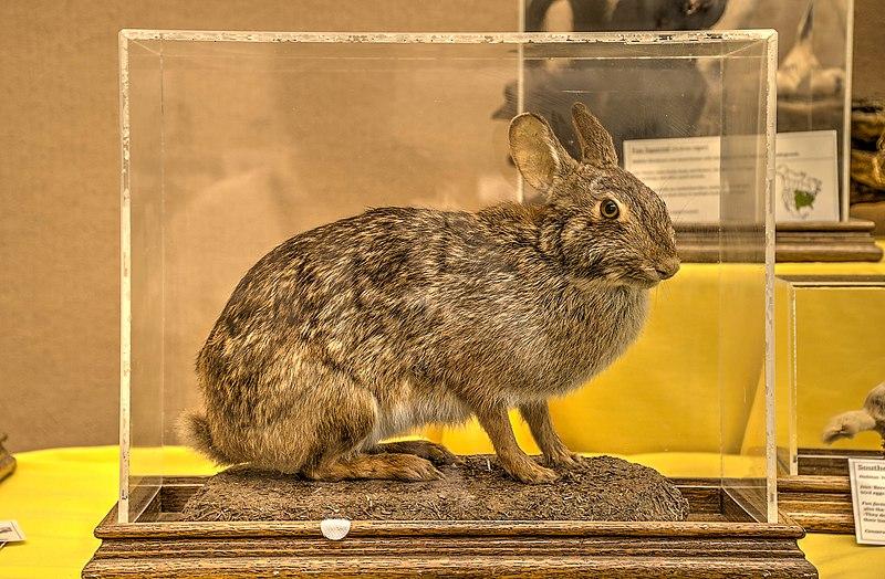800px-18-19-075-rabbit.jpg