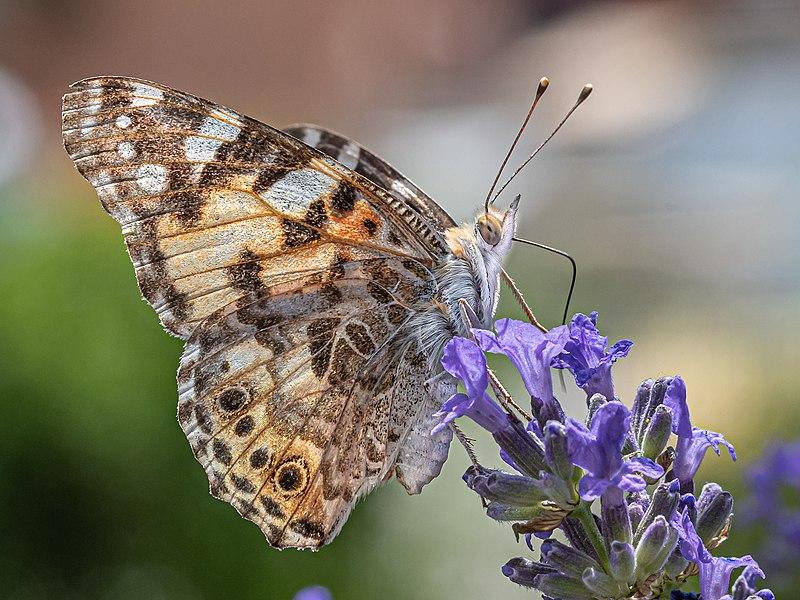 butterfly%20corpse%20con.jpg