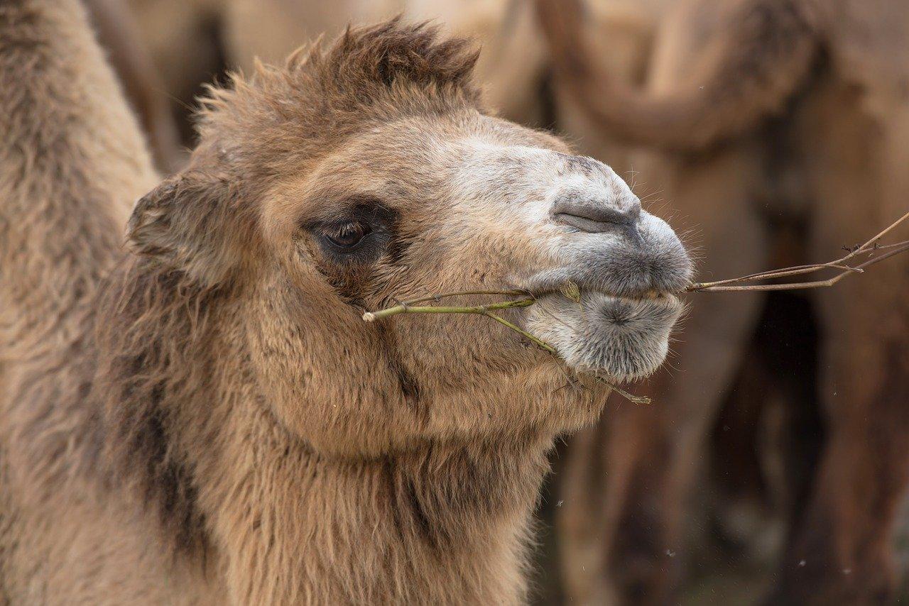 camel-3716688_1280.jpg